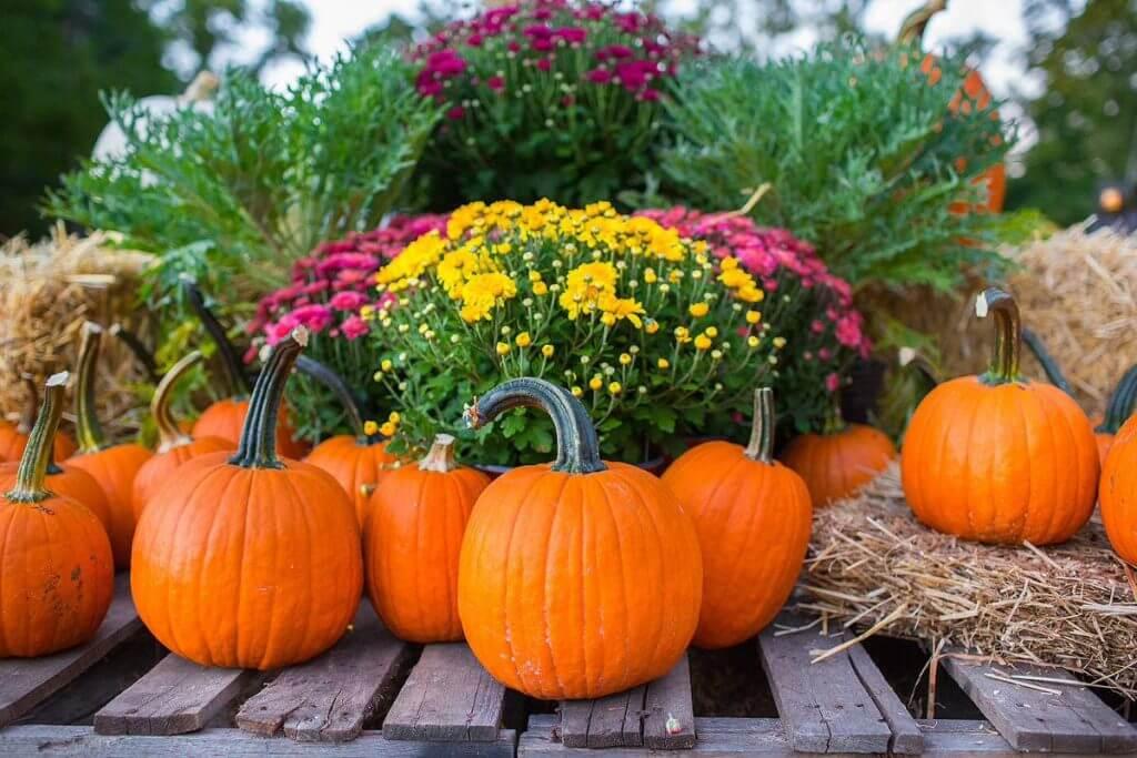 pumpkins and mums closeup
